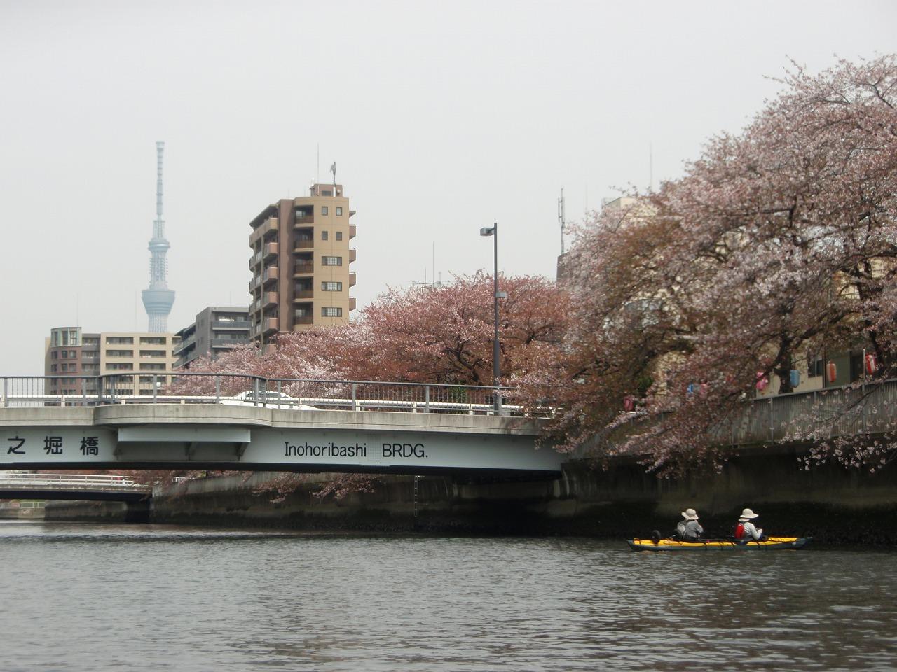 大横川の水上からの桜2