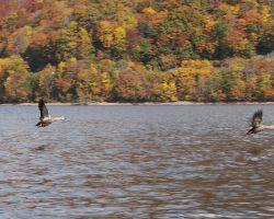桧原湖の水鳥