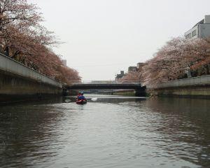 大横川の水上からの桜1