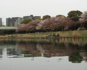 旧中川の沿いの桜