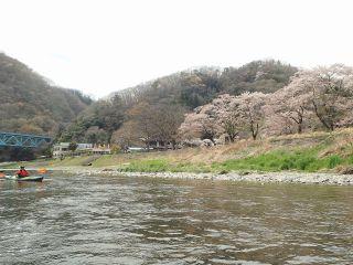 那珂川 大瀬橋上流側の桜