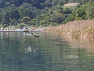 本栖湖&鳥 飛翔