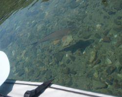本栖湖の鯉